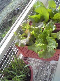 ほんま野菜畑