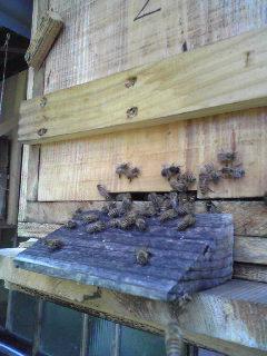 日本蜜蜂ぶんぶん