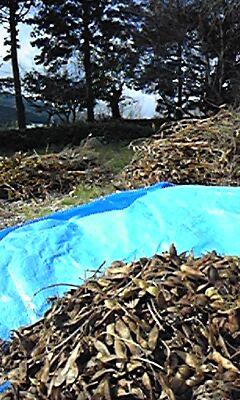 小春日和豆収穫。